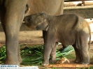 Шри-Ланка. Слоны.